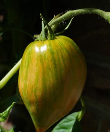 Schon unreif eine Pracht, die Tomate Striped Roman.
