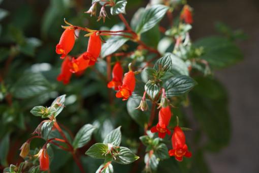 Verwunderlich, dass Seemannia nicht schon längst für den Kübelpflanzenmarkt entdeckt wurde. Hier: Seemannia nematanthodes 'Evita'.