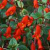 Seemannia nematanthodes Evita: Eine feurig rote Argentinierin.