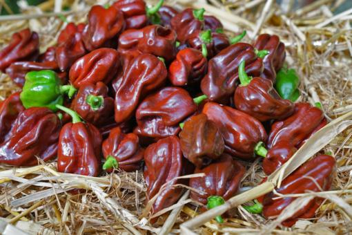 Die Chili 'Habanero Chocolate' ist für ihr exotisch fruchtiges Aroma und ihre prickelnde Schärfe bekannt.
