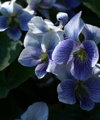 Das Veilchen Viola sororia 'Priceana' hat traumhaft schöne Blüten und gedeiht bei uns gut im Garten.