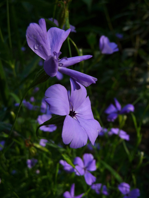 Silene oculata Blue Angel wird am besten vor Ort direkt ausgetreut