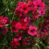 Silene oculata Dazzling Scarlet bildet innerhalb von Wochen ein Bluetenmeer.