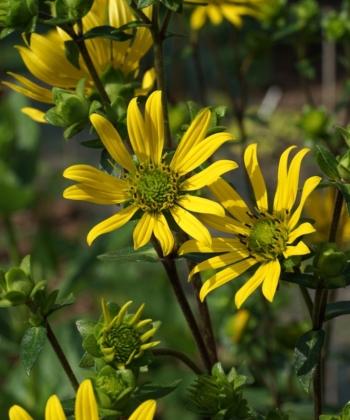Üppige Blütenpracht von Silphium integrifolium var. integrifolium, einer Verwandten der Becherpflanze.