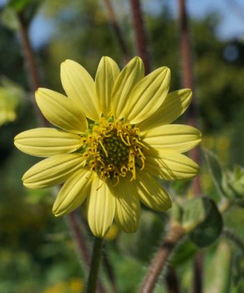 Silphium mohrii CW2016172 entwickelt rötliche Blütenstiele and denen die schwefelgelben Blüten sitzen.