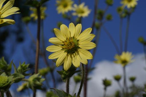Silphium mohrii CW2016172 stammt aus dem Bundesstaat Tennessee in den USA.