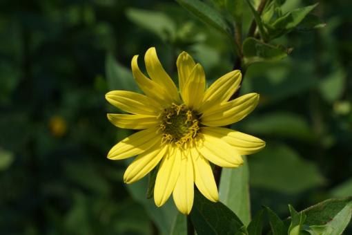 Silphium perplexum war bisher in der Gartenkultur noch völlig unbekannt. Wir haben sie aus den USA mit der Sammelnummer CW2016174 mitgebracht.