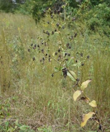 Silphium perplexum CW2016174 an ihrem Naturstandort in Alabama, USA.