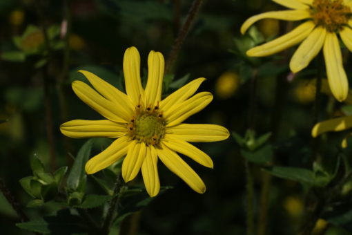 Die Pflanze Silphium perplexum CW2016174 besitzt typische zitronengelbe Blüten und kann gut im Garten kultiviert werden.