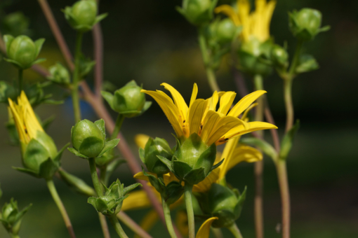 Die Pflanze Silphium trifoliatum (syn. Silphium asteriscus var. trifoliatum) besitzt meist leicht trichterförmige Blüten.