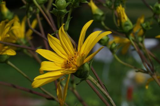 Silphium trifoliatum wird manchmal auch als eine Variante von Silphium asteriscus angesehen.