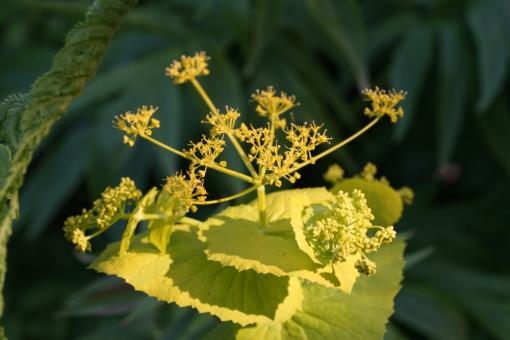 Die Gelbdolde Smyrnium perfoliatum