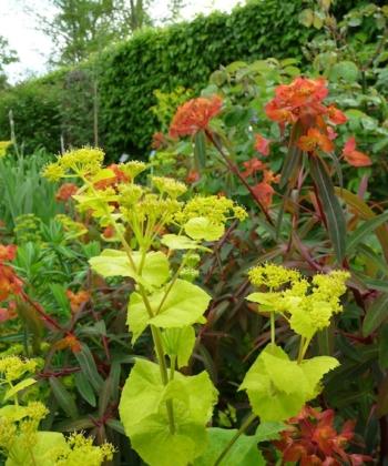Die Gelbdolde Smyrnium perfoliatum kennen viele Gartenfreunde aus englischen Pflanzungen. Sie kann gut mit Euphorbia griffthii kombiniert werden.