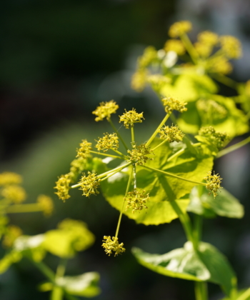 Die Gelbdolde Smyrnium perfoliatum stirbt nach der Blüte, erhält sich aber durch Selbstausaat.