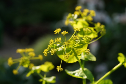 Smyrnium perfoliatum stirbt nach der Blüte, erhält sich aber durch Selbstausaat.