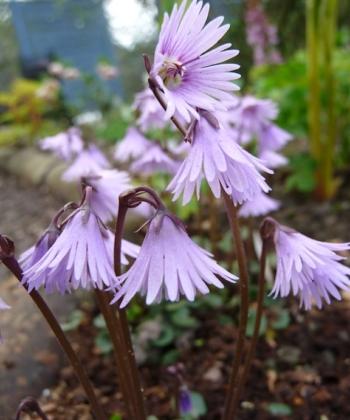 Bei der Pflanze Soldanella 'Spring-Symphonie' (Troddelblümchen) stehen die geschlitzten Blüten hoch über dem bodenständigen münzförmigen Laub.