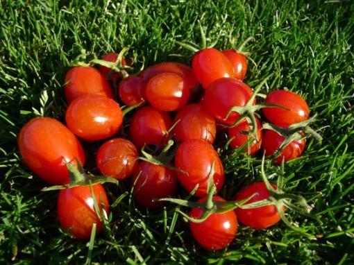 Tomate Solotaja Kaplja