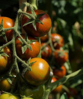 Sonnenreif und frisch vom Strauch schmeckt die Tomate Black Zebra Cherry am Besten.