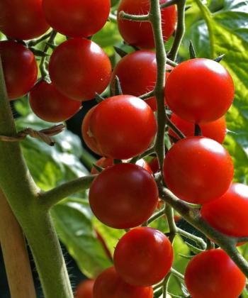 Spoon: rote und leckere Tomaten.