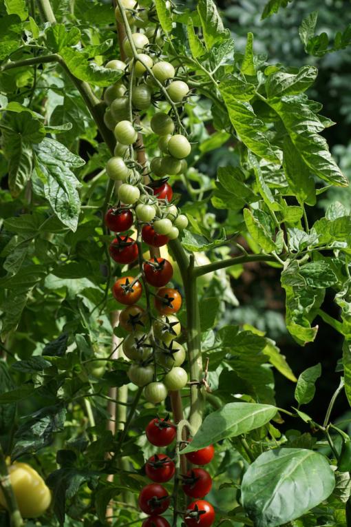 Stets mit Früchten behangen ist die Tomatensorteorte Spoon.