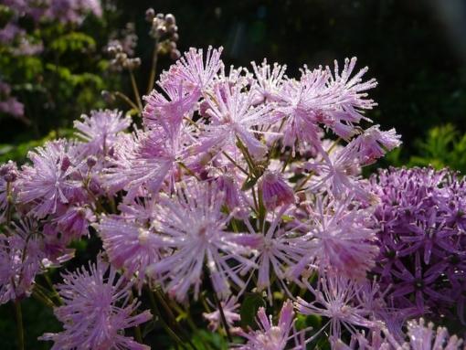 Morgens bilden sich oft wunderschöne Tautropfen an den Blüten der akeleiblättrigen Wiesenraute (Thalictrum aquilegifolium).