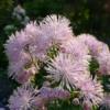 Thalictrum aquilegifolium, die akeleiblättrige Wiesenraute, ist eine beliebte Pflanze im Garten.