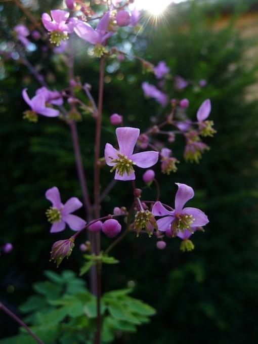 Die Prächtige Wiesenraute Thalictrum rochebrunianum ist eine beindruckend schöne Staude und wird als Solitär im Garten verwendet.