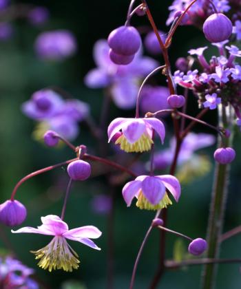 Aus kugeligen violetten Knospen, entfalten sich im Juni, die schönen Blüten von Thalictrum rochebrunianum (Prächtige Wiesenraute).
