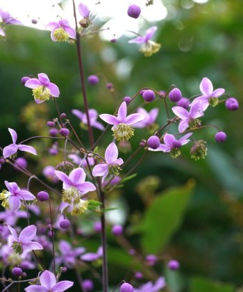 Thalictrum rochebrunianum, die prächtige Wiesenraute, ist trotz ihre Höhe von bis zu 2 Meter völlig standfest.