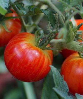 Tomate Tiny Tiger 2