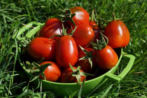 Eine Schale voller leckerer Tomaten: Tomate Black Plum.