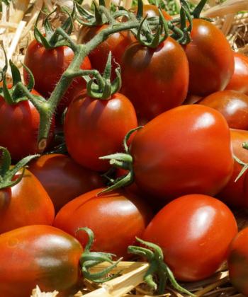 Tomate Black Plum: Reiche Ernte.