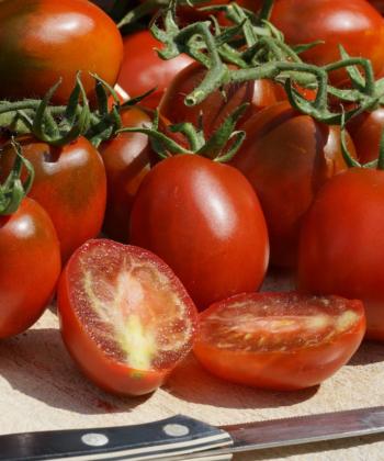 Black Plum ist eine Eiertomate, die viele Früchte ansetzt.