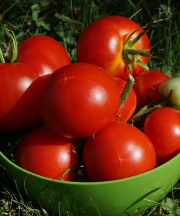 Eine Schüssel voll leckerer Tomaten der Sorte Bonner Beste.