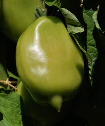 Schon früh am langen Zipel erkennbar: die Tomatensorte Buratino.