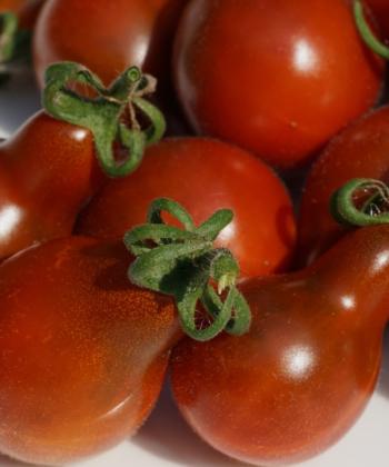 Die Tomate 'Cafe Bule' hat sehr dekorative tropfenförmige Früchte.