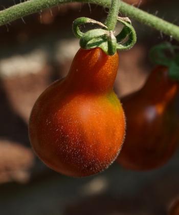 Die Tomate Cafe Bule wächst an Rispen.