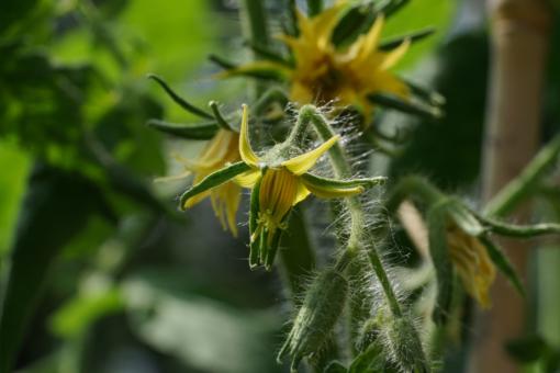 Tomate Caspian Pink: Blüten.