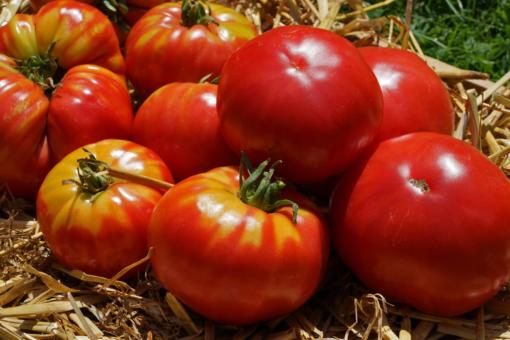 Manchmal zeigt dich bei der Tomate Caspian Pink eine leichte Grünkragenbildung.