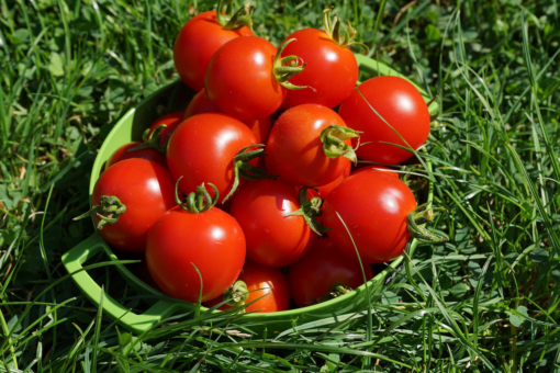 Tomate Geranium Kiss. Einfach lecker.