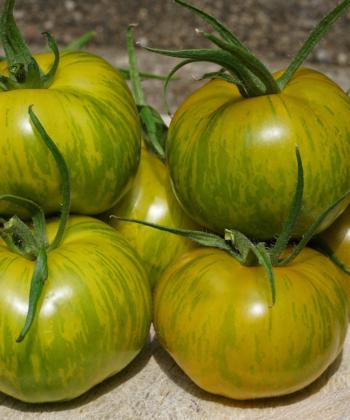Tomate Green Zebra: Viele leckere Tomaten.