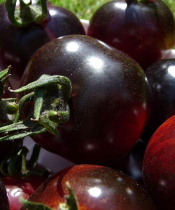 Die reifen Früchte der Tomate Indigo Rose sind rot-schwarz.