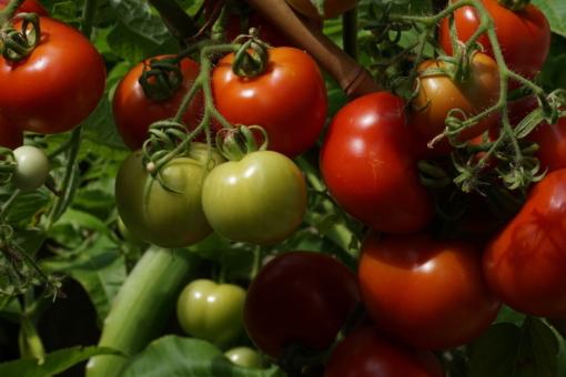 Reiche Ernte so gut wie garantiert: Tomate Iris.