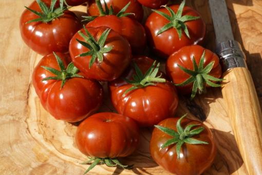 Die Tomate Petit Chocolate ist wirklich etwas ganz neues in der Tomatenwelt.