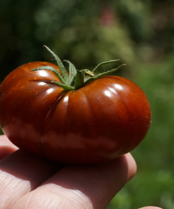 Die Tomate Petit Chocolate sieht so aus wie eine richtige Fleischtomate, ist aber nur so groß wie eine Cocktailtomate.