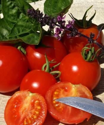 Die Busch-Tomate 'Red Alert' sorgt für eine reiche Ernte.