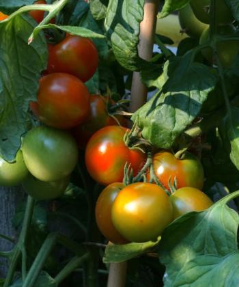 Nicht mehr lange und die Ernte der tomate 'Red Alert' kann beginnen.