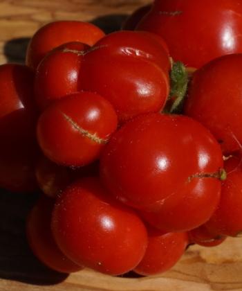 Die Reisetomate ist eine Klassiker unter den Tomatensorten.