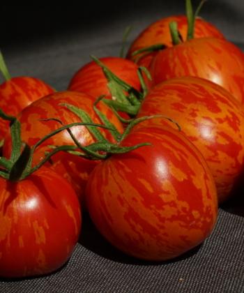 Die roten Früchte der Tomate Russian Queen tragen ein gelbes Streifenmuster.