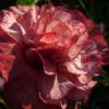 Typisch für Papaver Angel's Choir sind die halbgefüllten Blüten.
